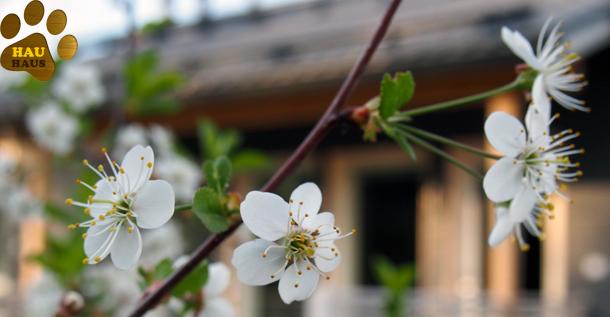 kirsikan kukat